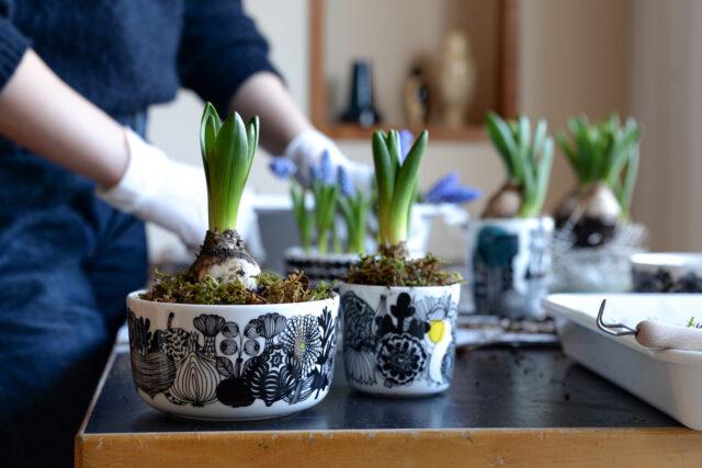 marimekko シイルトラプータルハ ボウルに球根を植える